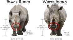 There are about 20,000 white rhinos left in the world, and 4,000 black rhinos. Please stand up for them, stop poaching!