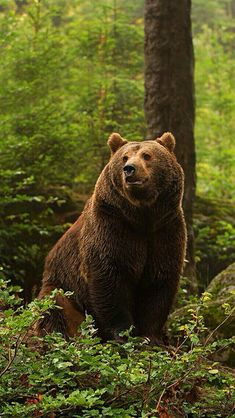 Beautiful Grizzly in The Woods!