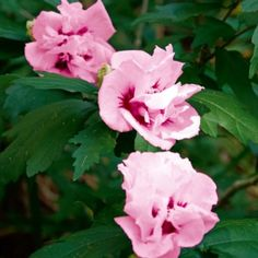 hibiscus happy hibiscus tropical hibiscus kac hibiscus tropical ...