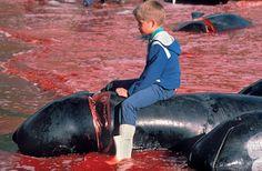 SandRamirez contra el maltrato animal. • www.luchandoporellos.es: MASACRE EN LAS ISLAS FEROE [GRINDADRÁP].