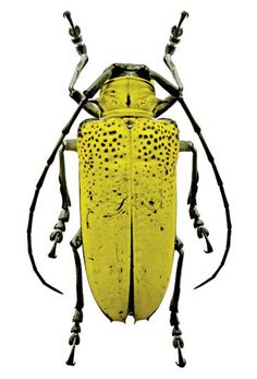Supplies for your artworks - dried insects - :   5 x celosterna pollinosa, longhornbeetle YELLOW UNMOUNTED A1 quality by Alanscollectibles on Etsy