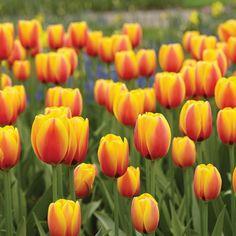 tulips garden care World Peace Tulip - - Happy Flowers, Tulips Flowers, Bulb Flowers, Cactus Flower, Exotic Flowers, Spring Flowers, Beautiful Flowers, Colorado Flowers, Wallpaper Aesthetic