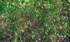 A male Spotted Deer disappears among sun-dappled vegetation in Ranthambore National Park, Rajasthan, India
