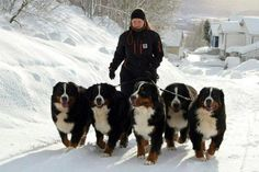 A team of Bernese Mountain Dogs - - -so beautiful! Such beautiful and big dogs! Big Dogs, I Love Dogs, Cute Dogs, Dogs And Puppies, Doggies, Bermese Mountain Dog, Bernese Puppy, Entlebucher, Swiss Mountain Dogs