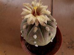 Astrophytum asterias cv. rurikabuto Succulents, Plants, Succulent Plants, Plant, Planets