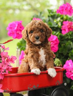 🐶💖😘 One of these cuties is sure to be the perfect fit for your family! These cute little #Cockapoo puppies are #Happy, playful, and have all the amusing antics, plus they give the sweetest puppy kisses! #LancasterPuppies www.LancasterPuppies.com Cockapoo Puppies For Sale, Cute Puppies, Cute Dogs, Dogs And Puppies, Cockapoo Breeders, Poodle Cross Breeds, Puppy Quotes, Lancaster Puppies, Animals Dog