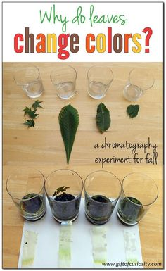 Video resources and an awesome science experiment to help kids understand how and why leaves change colors in the fall || Gift of Curiosity