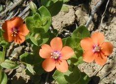 Anagallis arvensis (Centonchio dei campi)