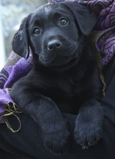 What a look from this cute Labrador