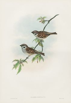 Passer Montanus Tree Sparrow from Lark, Linnet, Sparrow, Bunting, Pipit Plates by Gould Botanical Drawings, Botanical Prints, Bird Illustration, Botanical Illustration, Bird Book, John James Audubon, Bird Perch, Art Journal Inspiration, Bird Prints