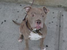 DONTE A1053638- 2B KILLED 10/21/15** SO HANDSOME! Donte lived w/ 1 adult and a child the age of 12. Donte is very respectful and relaxed towards children; he plays very gentle with adults and children. It was reported by the owner Donte is house broken, crate trained, well behaved when home alone and has a medium activity level. The owner describes Donte as playful, affectionate, quiet, confident and friendly. #NY #NYC #FOSTER #URGENT #RESCUE