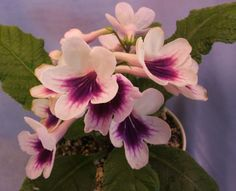 Bristols Indigo Eyes - New! - The Violet Barn - African Violets and More