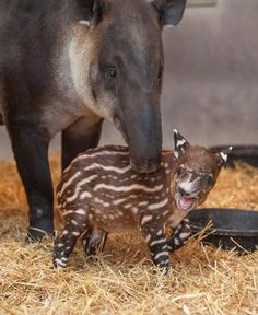 ENDANGERED - The Tapir looks something like a pig with a trunk, but they are actually related to horses and rhinoceroses. There are 4 species of Tapirs - Baird's Tapir, Lowland Tapir, Mountain Tapir and Malayan Tapir.  Beautiful