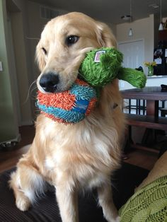 when you want everything in your mouth - golden retriever - teddy