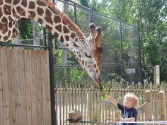 "All seven giraffes at Naples Zoo are best ""Frenemies."" Zoo Profiles - Giraffe.JPG"