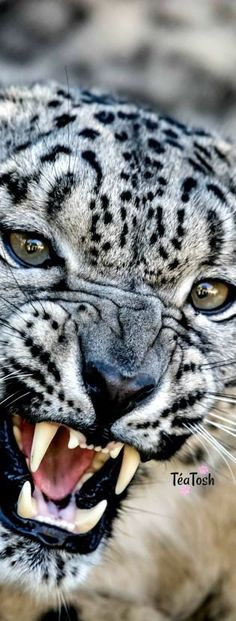 ❇Téa Tosh❇ Female Clouded Snow Leopard