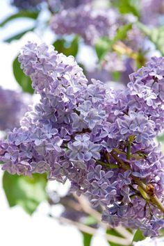 President Lincoln Lilac (Syringa vulgaris 'President Lincoln')