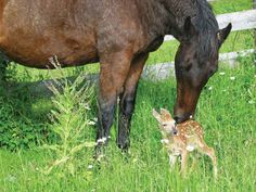 the mare protected a newborn fawn from foxes until her mother could recover enough to do it herself.