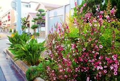 ■ Bird of paradise flower blooming with Leptospermum scoparium in the roadside.garden