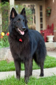 Belgian Sheepdog male/female dog names. English Shepherd, Belgian Shepherd, German Shepherd Dogs, Australian Shepherd, Herding Dogs, Purebred Dogs, Big Dogs, Dogs And Puppies, Doggies