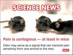 Pain is contagious Science News, Animals, Animales, Animaux, Animal, Animais