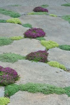 Chamomile & thyme in between cracks in pavers