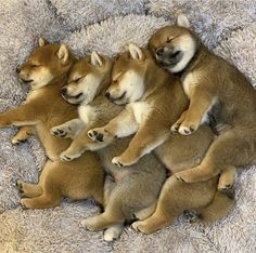 We are really small, we are tired and we are sleepy. 🐶🐕☺️☺️🤗🤗Let us sleep!🙏😴😴 Goodnight to all and a good weekend! Akita Puppies, Shiba Puppy, Cute Dogs And Puppies, I Love Dogs, Doggies, Cute Baby Animals, Funny Animals, Chien Shiba Inu, Japanese Dogs