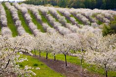 Orchards in the spring. Traverse City, Mich.