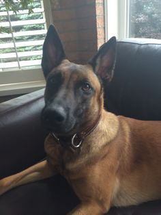 Belgian Malinois Bella! So adorable!