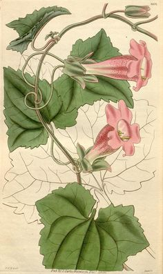 Lophospermum - v.57 (1830) - Curtis's botanical magazine. - Biodiversity Heritage Library