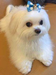 Maltese Dog Breed, Havanese Puppies, Yorkshire Terrier Puppies, Teacup Puppies, Maltipoo, Maltese Poodle, Teacup Maltese, Cute Dogs And Puppies, Baby Dogs