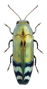 Coraebus fasciatus
