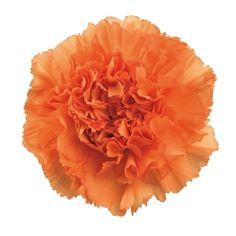 Orange Carnation