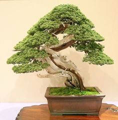 Bonsai Tree Reference