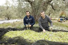 Das Verlesen der Oliven und Entfernen der Blätter erfolgt ebenfalls in Handarbeit.