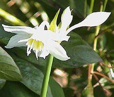 Lírio-do-amazonas - Jardim de Flores