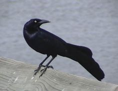 Common Name: GREAT-TAILED GRACKLE,  Scientific Name: QUISCALUS MEXICANUS
