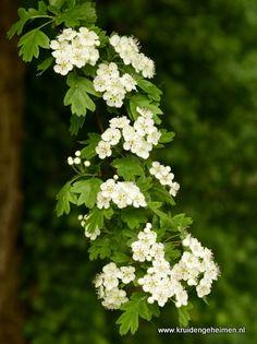 Vegetable Garden, Garden Plants, House Plants, Herb Recipes, Kitchen Witch, Permaculture, Beautiful Gardens, Gardening Tips, Herbs
