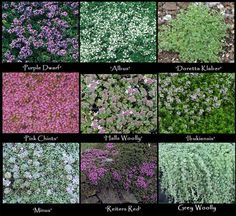 Image detail for - Creeping Thyme - 9 Varieties! - Perennials › Miniature and Alpine . Garden Paths, Lawn And Garden, Herb Garden, Fresco, Creeping Thyme, House Plant Care, House Plants, Ground Cover Plants, Landscaping Plants