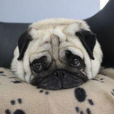 Nanna | Social Pug Profile http://www.thepugdiary.com/nanna-social-pug-profile/