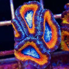 Orange and blue acan