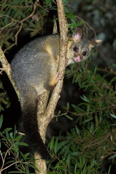 Common Brush-tailed Possum, Trichosurus vulpecula, Australia these are nocturnal, love to eat my vegetable plants and my rose flowers.Would be nice if we could just share once in a while. Reptiles, Mammals, Nocturnal Animals, Cute Animals, Australian Possum, Quokka, Animal Kingdom, Pet Birds, Wildlife