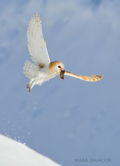 Mark Hancox photo library of bird photography covering all UK species Beautiful Owl, Animals Beautiful, Tyto Alba, North American Animals, Barn Owls, Birds Of Prey, Photo Library, Eagles, Galleries