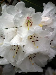Rhododendron blossom at Inverewe Garden, Scotland. Snapped by Maria McMahon 7 April 2012.