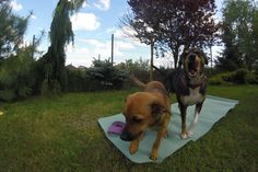 yoga dogs :)