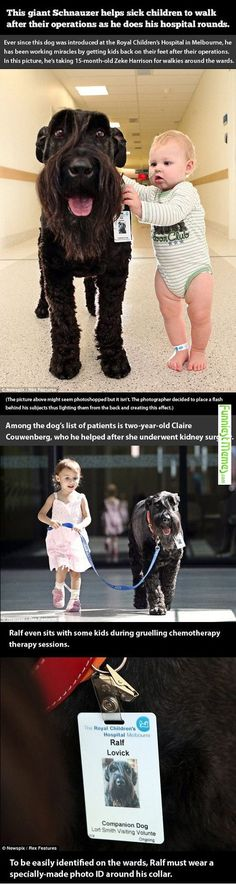 Funny Pictures This Giant Schnauzer Helps Sick Children To Walk