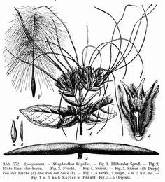 strophantus hispidus