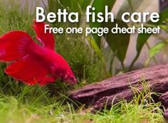 The Ultimate One Page Guide to Betta Fish Care - using nature as your guide