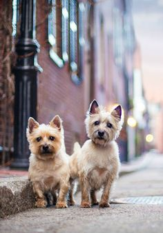 Cairn Terriers Gus Gus and Birdie photographed in Boston by Dog Breath Photography @dogbreathphoto: