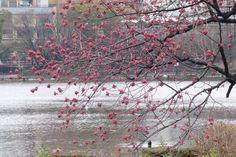 上野の寒桜